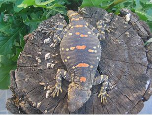 Orange Spotted Dragon (Laudakia stellio picea) - Adult female