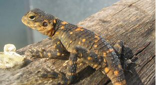 Orange Spotted Dragon (Laudakia stellio picea) - Juvenile