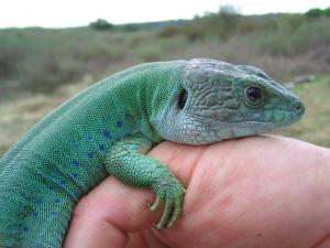Moroccan Eyed Lizard (Timon tangitanus) adult male